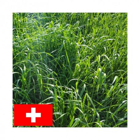 RGH 4N RUSA, Ray-grass Hybride