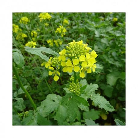 Moutarde blanche ASTA - Bio