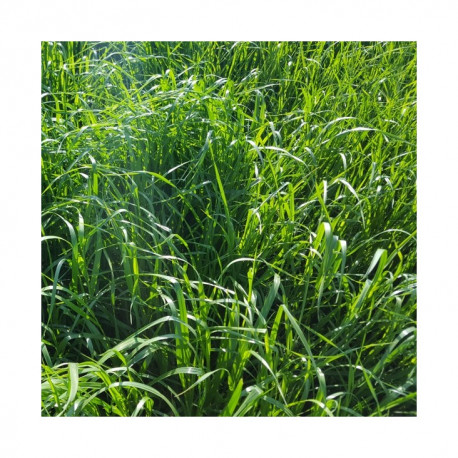 RGH 4N GALA, Ray-grass Hybride