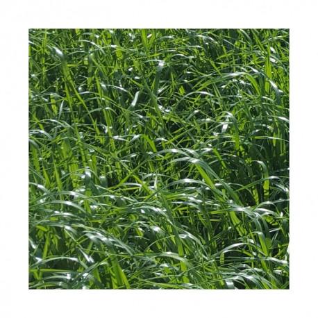 RGI 4N non-alternatif PROJEKTIL, Ray-grass d'Italie