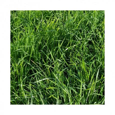 RGI 2N non-alternatif DS IDEFIX, Ray-grass d'Italie