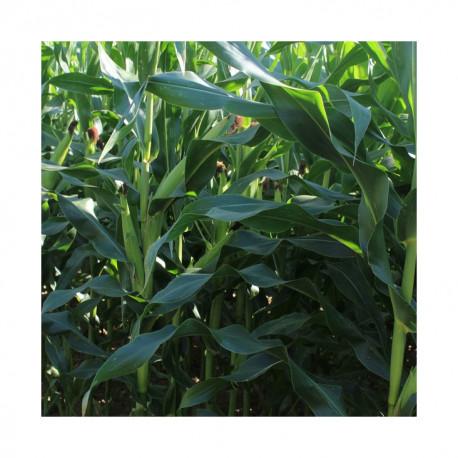 Maïs ERTAL indice 320-340