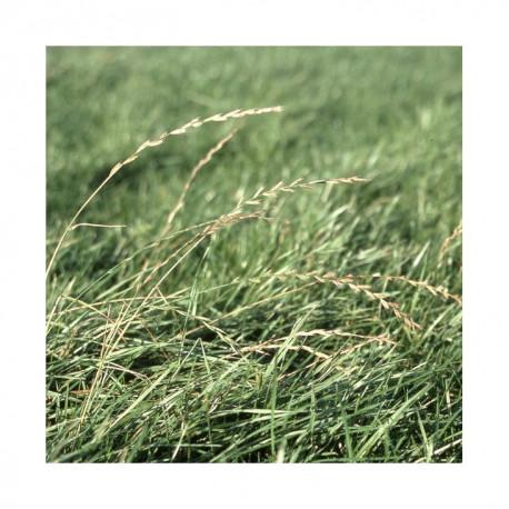 RGA 4N précoce ARUSI, Ray-grass Anglais