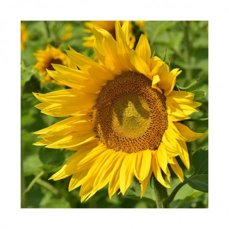 Tournesol ES BALISTIC CL (Clearfield)