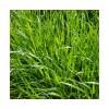 RGI 2N alternatif MILLENIUM, Ray-grass d'Italie