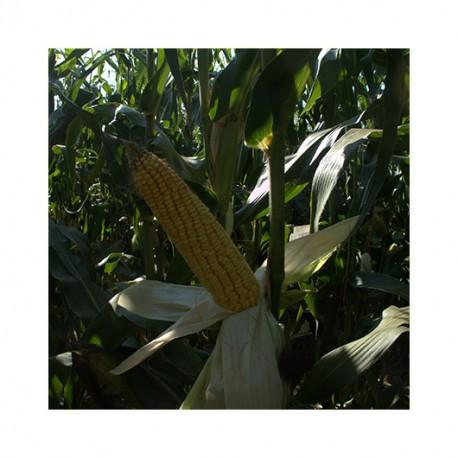 Maïs LACTOSIL indice 400