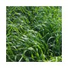 RGI 4N alternatif OBELIX, Ray-grass d'Italie