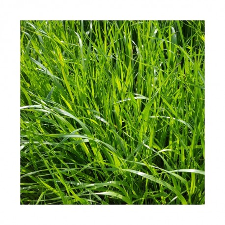 RGI 2N alternatif Bio MOWESTRA, Ray-grass d'Italie Bio