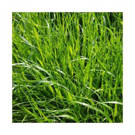 RGI 2N alternatif Bio MOWESTRA, Ray-grass d'Italie Bio