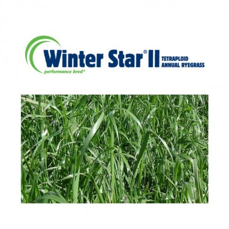 RGI 4N alternatif WINTERSTAR II, Ray-grass d'Italie