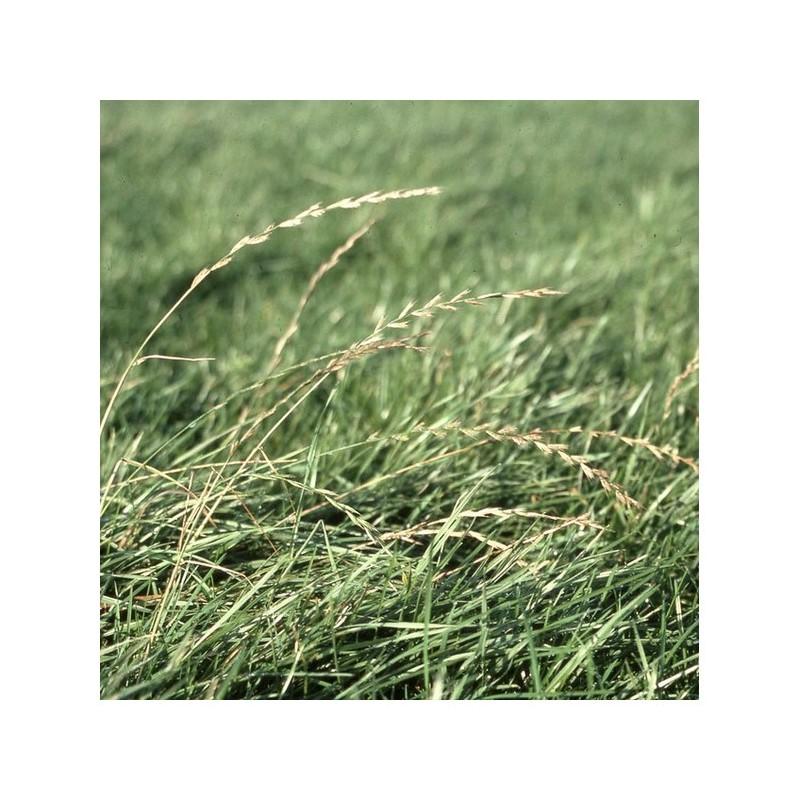 RGA 4N précoce MATHILDE, Ray-grass Anglais