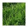 RGH 2N MANAWA, Ray-grass Hybride