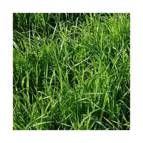 RGH 2N Bio NADZIEJA, Ray-grass Hybride Bio