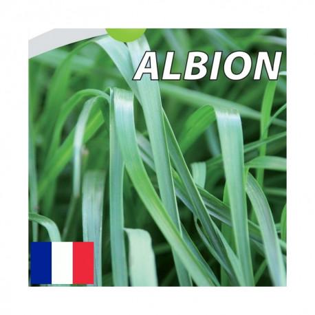RGA 4N tardif ALBION, Ray-grass Anglais